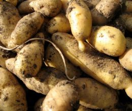 Potato Yellow Banana Fingerling