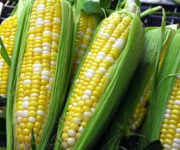 Organic Bi-Colour Corn