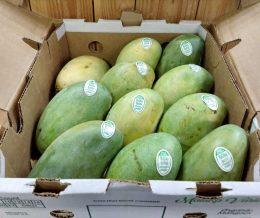 f-mango-mallika-case